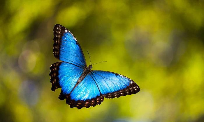 Голубая бабочка.
