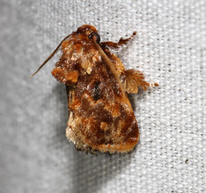 Бабочки-мокрицы, обитают на территории Северной Америки, от штатов Нью-Йорк и Флорида до Колорадо и Техаса.
