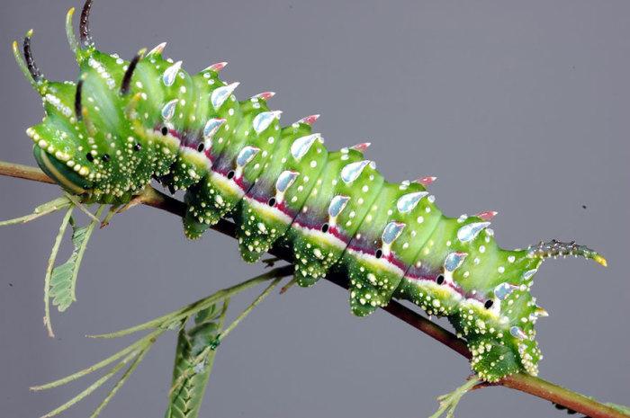 Гусеница питается только листьями тутового дерева или шелковицы.