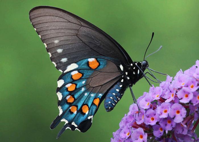 Бабочка обитает в Уссурийской тайге.