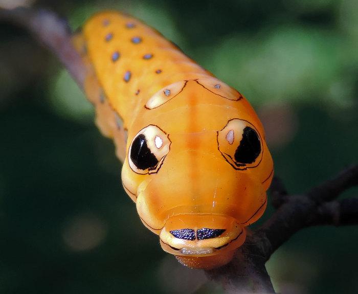 Во время развития гусеница проходит через несколько цветовых стадий – сначала она коричневая с белыми пятнами, потом у нее появляется бриллиантово-зеленый окрас, и в конце концов она становится оранжево-красной.