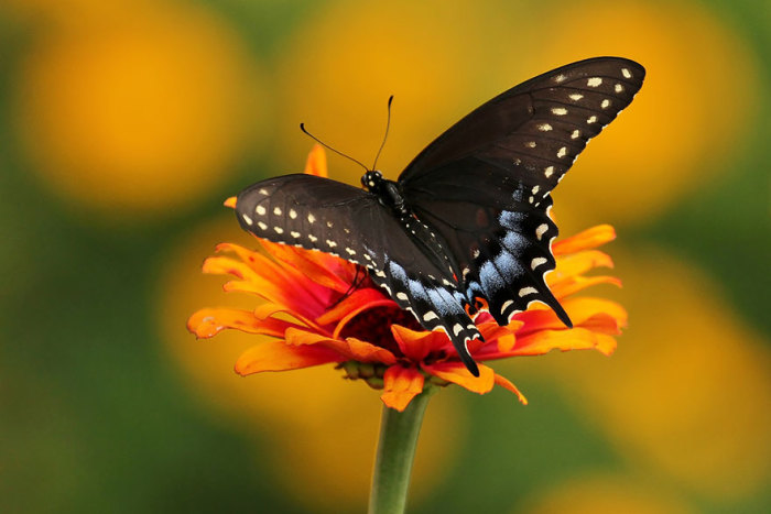 Бабочка-парусник обитает в Северной Америке.