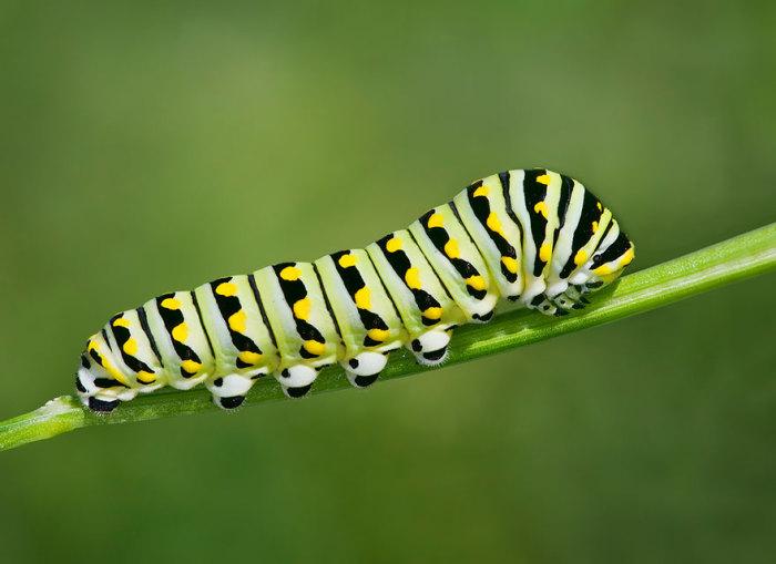 Гусеница черной бабочки Swallowtail.