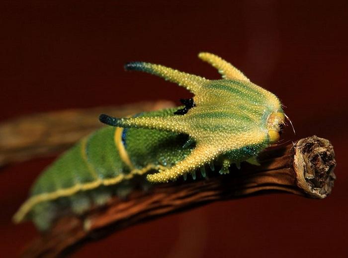 Роговой панцирь на голове гусеницы больше бы подошел доисторическому динозавру, чем этому маленькому существу.