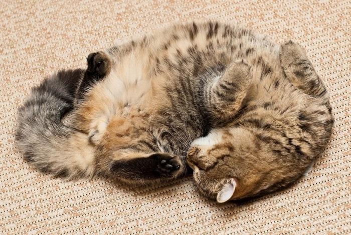 Котёнок спящий вверх лапками.