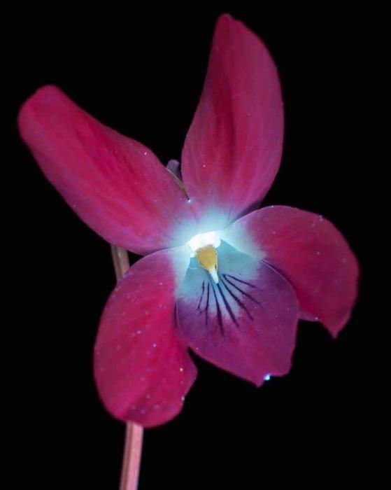 Фиолетовый цветок в ультрафиолетовом излучении.
