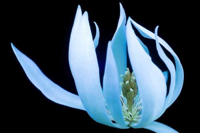 Белоснежная цветочная звезда с удлиненными лепестками.