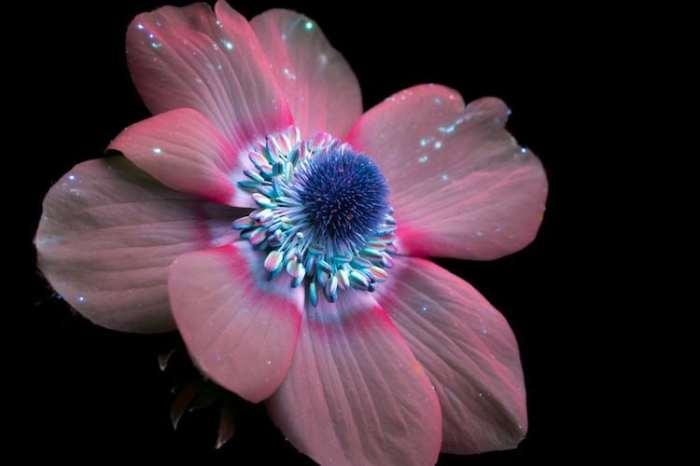 Нежный цветок с пушистой серединкой.