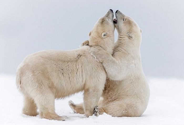 Игры белых медведей на Аляске. Фото Biosphoto.