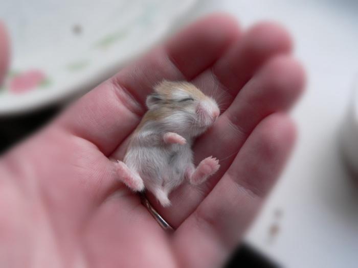 Маленький грызун с короткими конечностями.