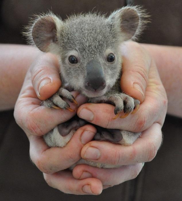 Медвежонок коалы пригрелся в руках человека.