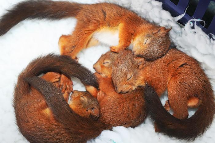 Крепко спящие бельчата в центре защиты диких животных Sanctuary Wildlife Care в Морпете, Нортумберленд.