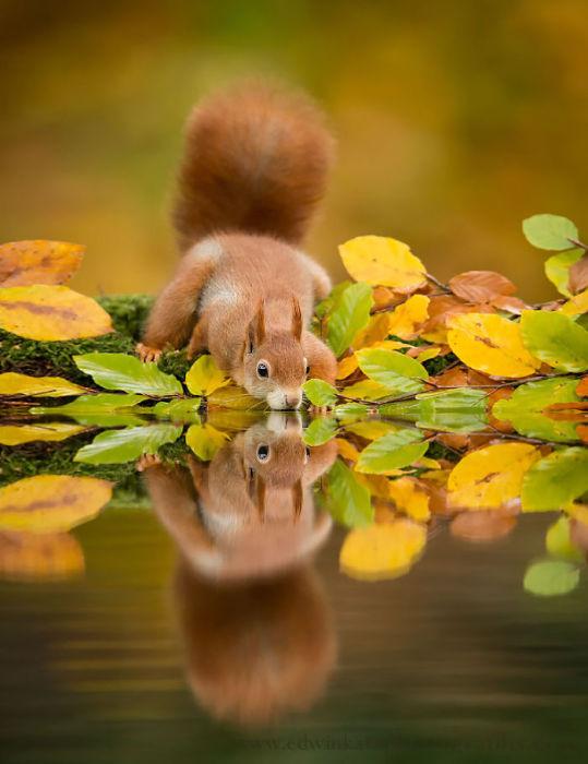 Красавица-белка захотела воды напиться. Фотограф Эдвин Кац (Edwin Kat).