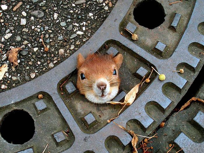 В Германии спасли белку застрявшую в канализационном люке.