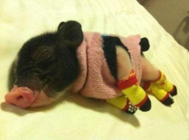 Поросенок в крошечном свитере и совсем крохотных носочках.