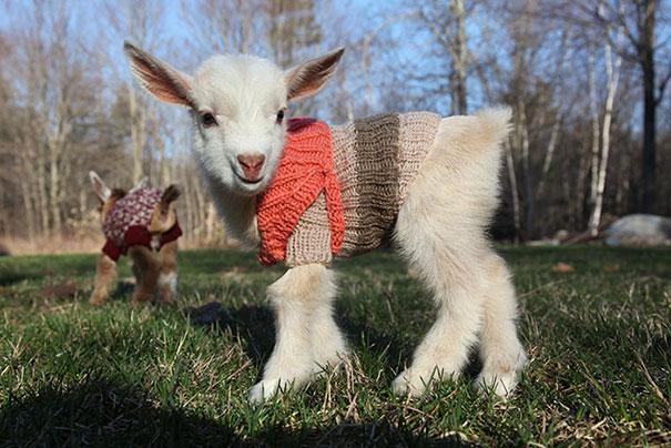 Новорожденные козлята в свитерах ручной работы.