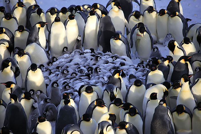 Для обогрева своих пингвинят, взрослые птицы собираются вокруг них плотное кольцо.