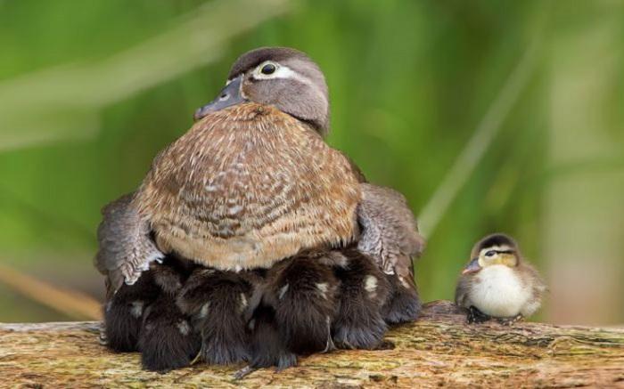 Утка очень осторожно обращается с выводком, стараясь не раздавить утенка.