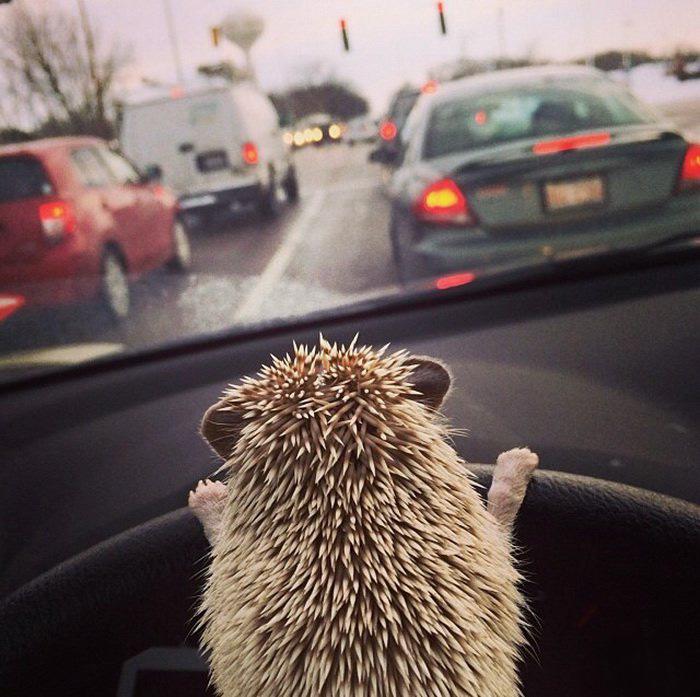 Ёжик-водитель.