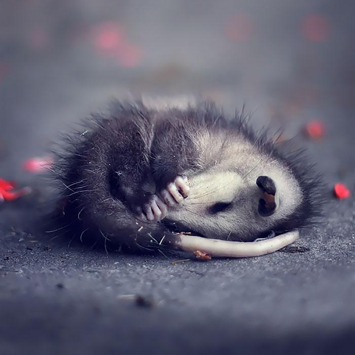 Маленький поссум решил поспать.