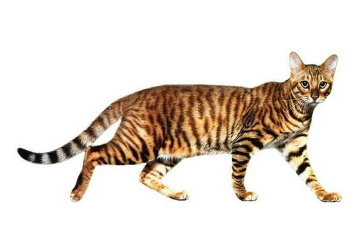 Одна из самых экзотических и дорогостоящих пород кошек в мире. Настоящий домашний тигр!