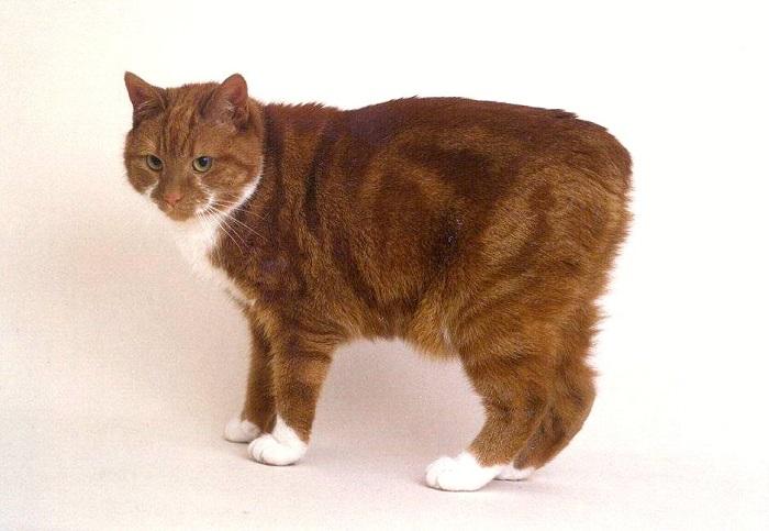 Порода домашних кошек, отличающаяся полной бесхвостостью.