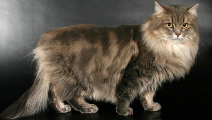 Порода полудлинношерстных кошек с густым, не пропускающим влагу шерстяным покровом, пушистым хвостом и милым выражением мордочки.