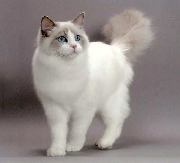 Порода крупных домашних кошек с голубыми глазами и длинной, густой, шелковистой шерстью, легко поддающейся расчесыванию.