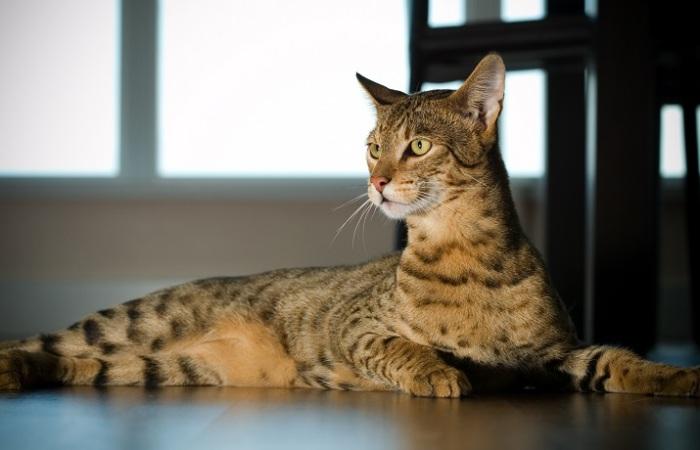Вымышленная гибридная порода кошек, названная в честь богини Ашеры.