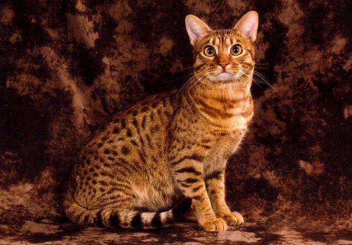 Довольно крупная кошка с развитой мускулатурой и тяжелым костяком.