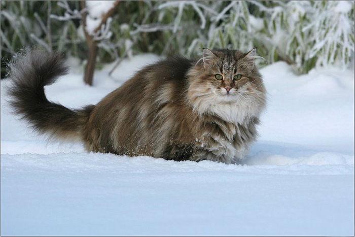 Уверенный в себе выносливый зверь и ласковый домашний питомец, сильный охотник и нежный друг ребёнка.