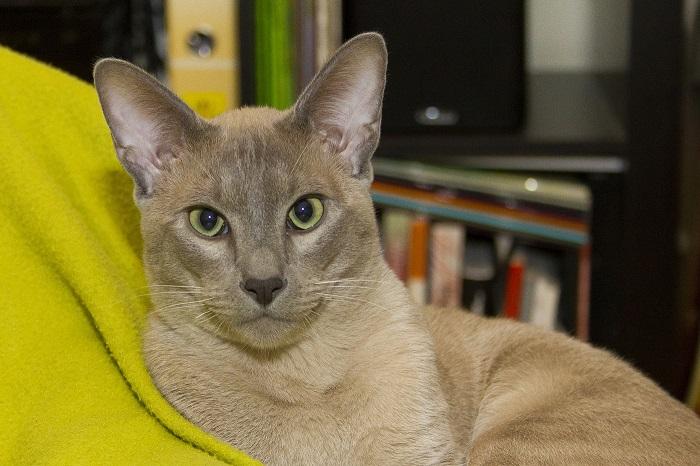 Молодая порода, появившаяся в результате скрещивания двух необыкновенных пород – сиамских и бурманских кошек.