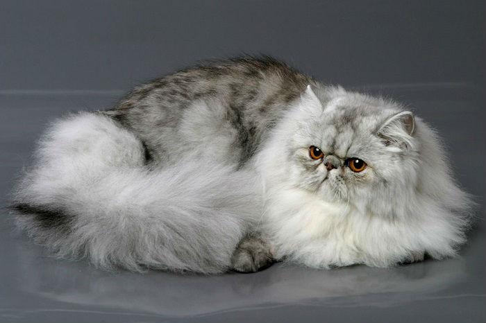 Одна из красивейших и самых популярных пород кошек в мире.