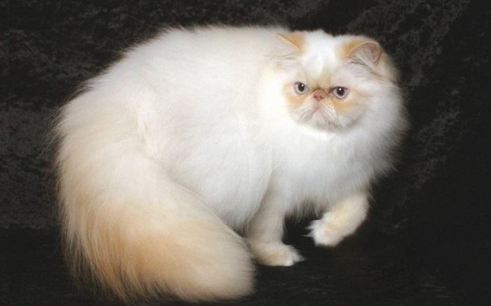 Американское название длинношерстных колорпойнтов, то есть персидских кошек с сиамским окрасом.