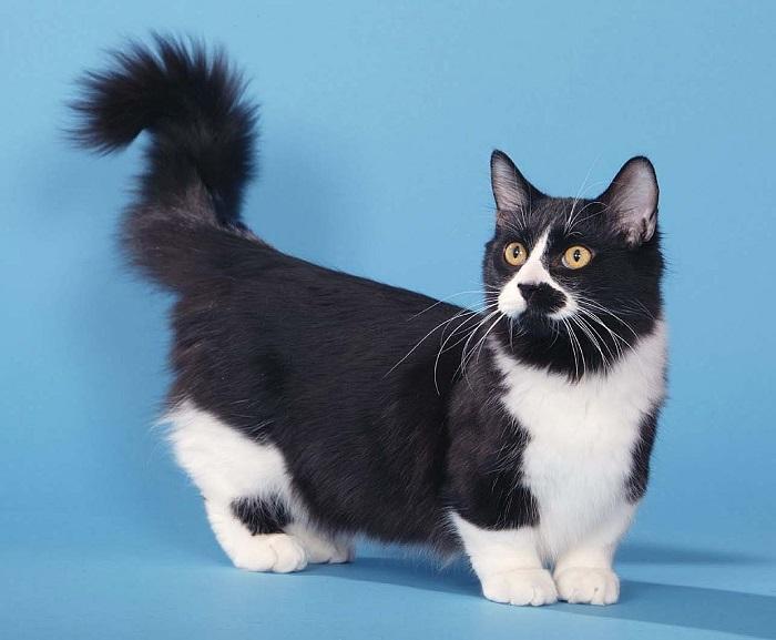 Кошки отличаются своими очень короткими лапками, которые развились в результате естественной мутации.