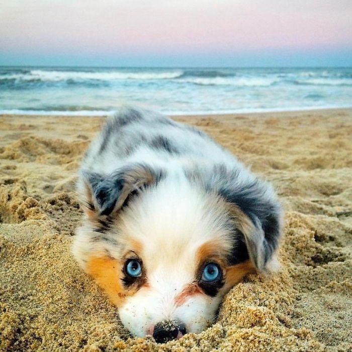 Трехцветный щенок с голубыми глазами не прочь порезвиться на берегу океана.