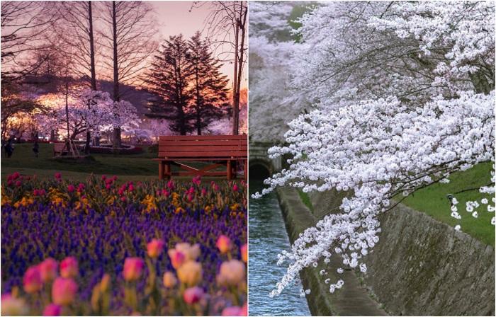 Цветущие весенние пейзажи Японии.