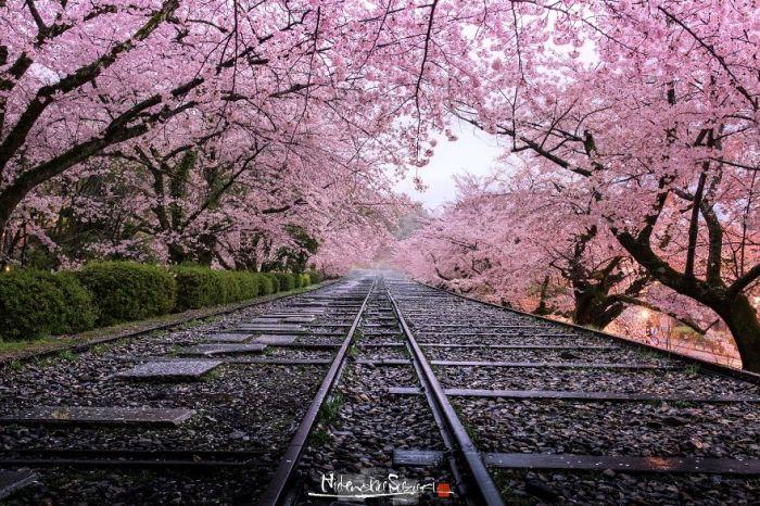 Цветущий вишневый тоннель над старыми железнодорожными путями.