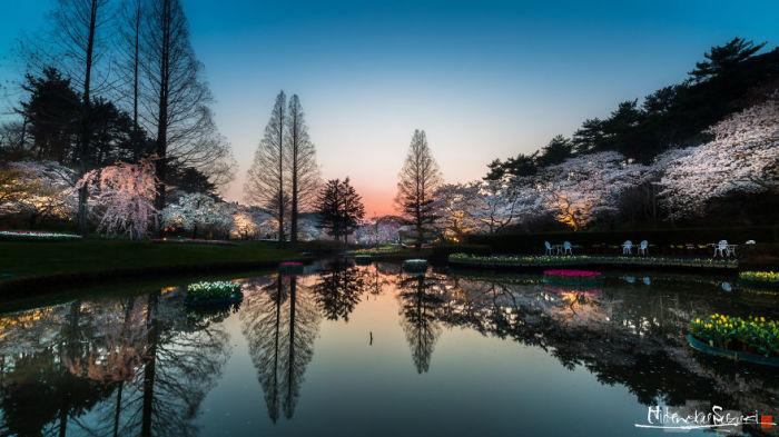 Завораживающий сезон цветения японских вишен.