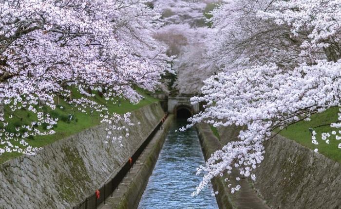Сезон цветения сакуры – самое лучшее время для посещения Японии.