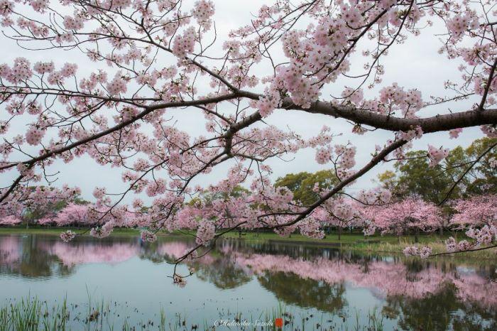 Весной Япония окрашивается в чудесный розовый цвет благодаря многочисленным цветущим деревьям сакуры.