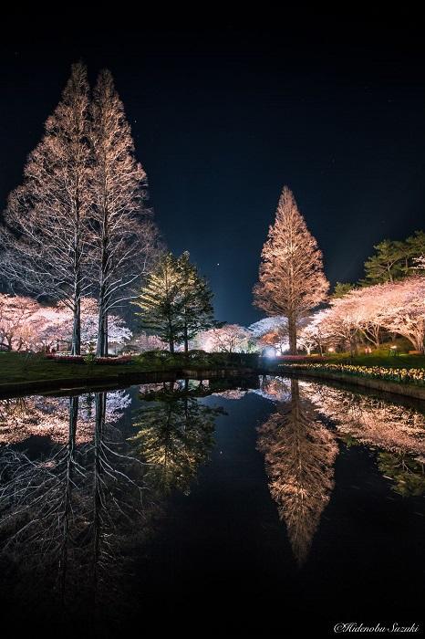 Ночной парк, освещаемый фонарями в сезон цветения вишневых деревьев.