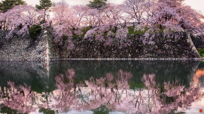 Наружная стена замка Нагоя, утопающая в вишневом цвету.