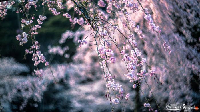 Во время цветения сакуры в Японию съезжается множество туристов, чтобы запечатлеть мимолетную красоту цветущих деревьев.