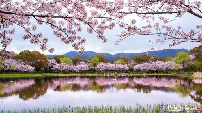 Весна пришла в небольшой японский парк.