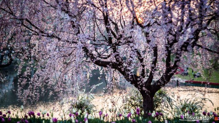 Цветущее вишневое дерево в одном из японских парков.