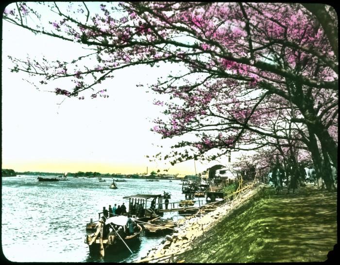 Прогулочные лодки ждут своих пассажиров под цветущими сакурами.