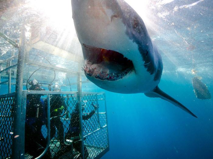 Только наблюдая за акулами из клетки, можно лучше всего разглядеть их невероятный маневр «летающие челюсти», когда хищник полностью выпрыгивает из воды, пытаясь схватить морского котика или спущенную на воду приманку.