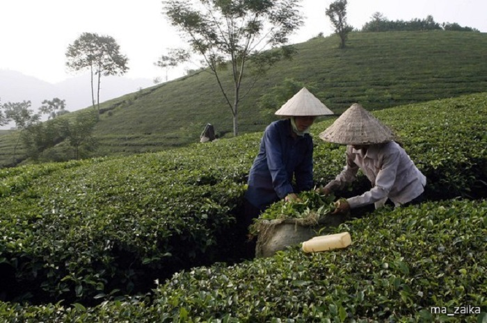 Разнорабочие собирают листья чая. | Фото: ma-zaika.ru.