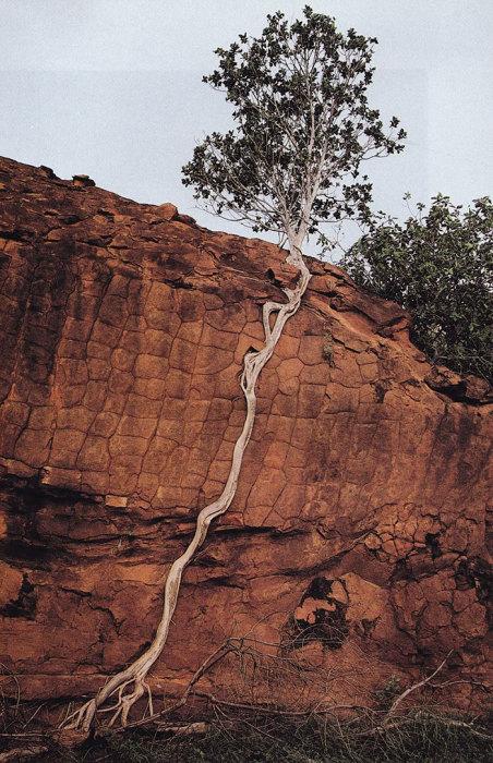 Для выживания этому дереву пришлось значительно удлинить свои корни.